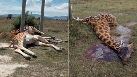 Dead Rothschild giraffes at Soysambu. PHOTO/COURTESY